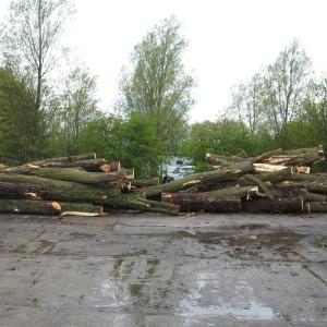 English Willow Tree Trunks